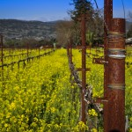 rusty pole mustard flowers vineyard napa