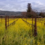 mustard flowers napa valley