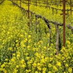 mustard flowers vines